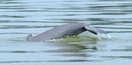See the very rare and distinctively short beaked dolphins in the Mekong River