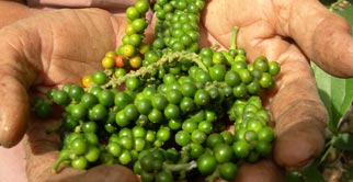 An interesting insight in to organic Kampot Pepper production