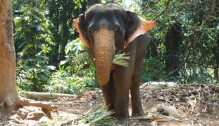This most famous of Elephant Villages is steeped in elephant related activities