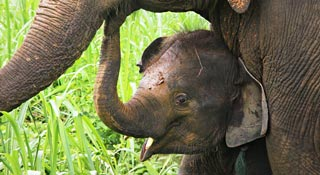 Enjoy sharing the lives of rescued and retired Thai elephants in a natural home