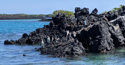 See and swim with Galapagos Penguins!