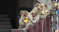 A relaxed ancient former capital overrun by monkeys